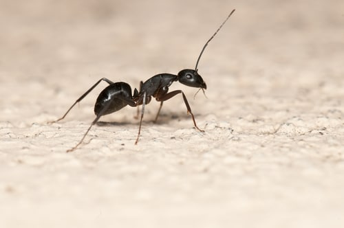 Carpenter ant