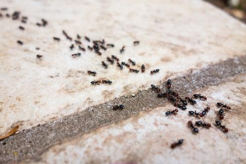 Ant's line