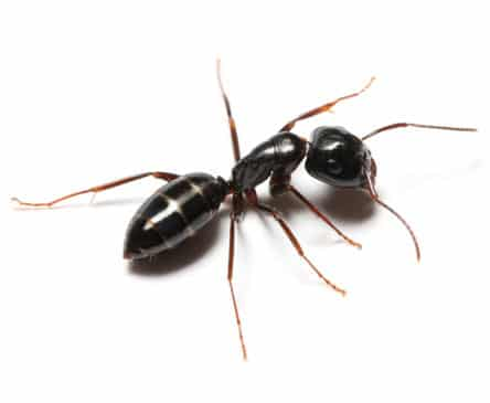 House Odorous Ant