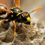 Wasp sitting on nest