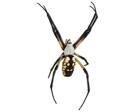 Orb-wevear Spider