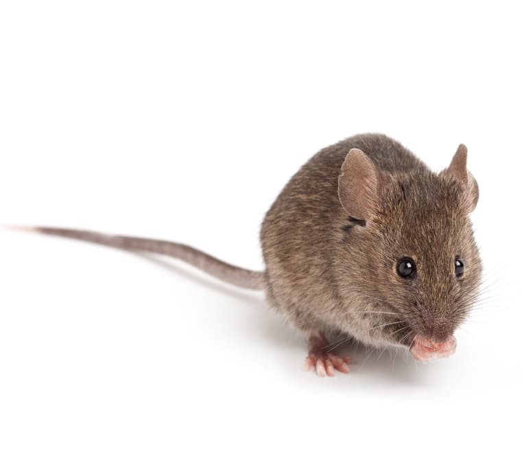 cute small grey mouse isolated on white