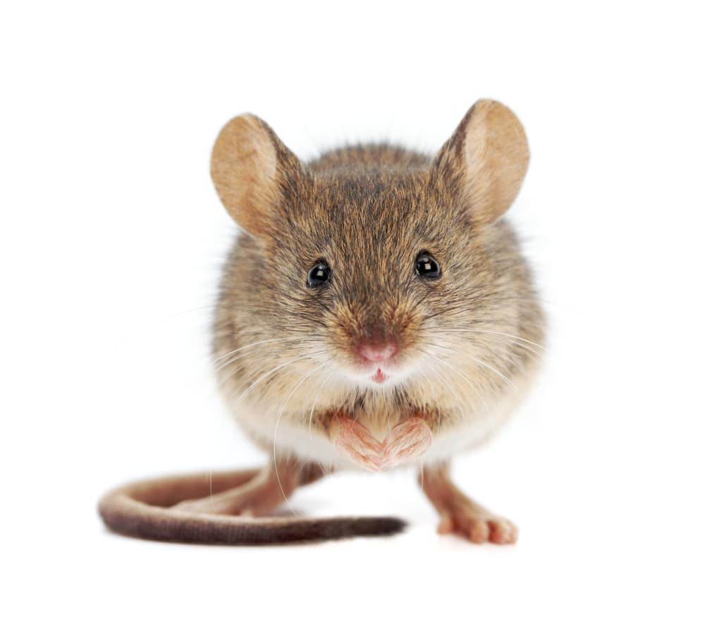 House mouse standing