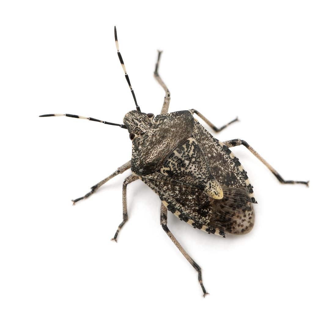 European stink bug
