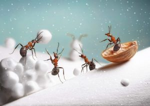 Ants In Snow