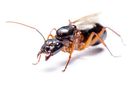 Black Carpenter Ant or Camponotus pennsylvanicus (winged male)