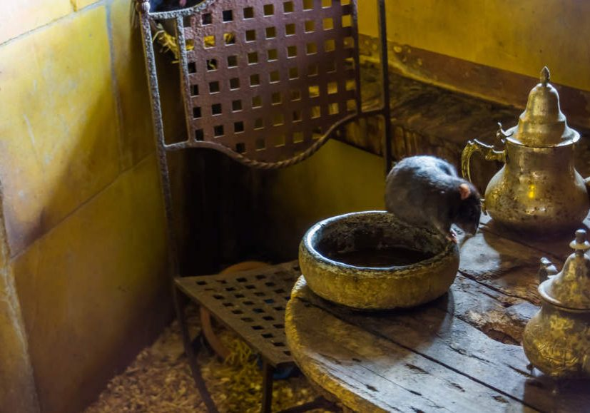 Black rat sitting on the table, animal pests, historical animal for spreading the plague