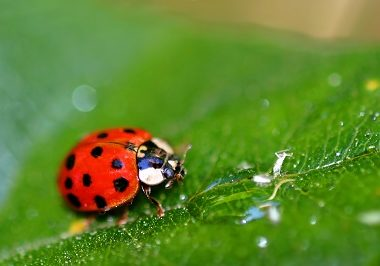Lady Bug on the leaf