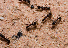 black ants walking on sand