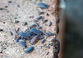 Pillbugs Sidewalk