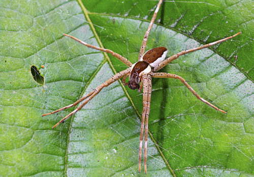 Raft spider (Dolomedes fimbriatus) on a leaf