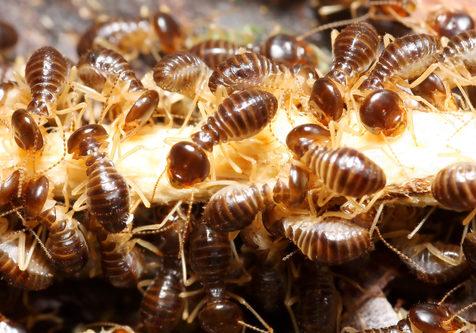 Group of termites eating wood