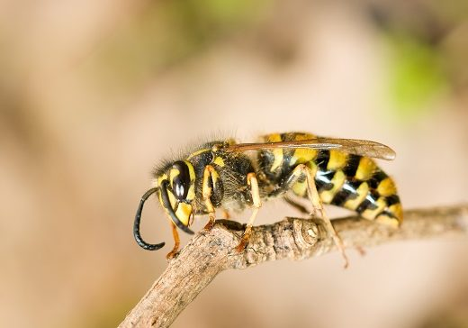 Side of wasp on branch