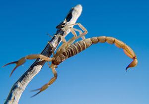 An Arizona Bark Scorpion climbing on a dead stick.