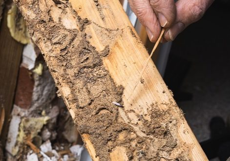 Closeup photo of man's hand pointing out termite damage and a live termite.