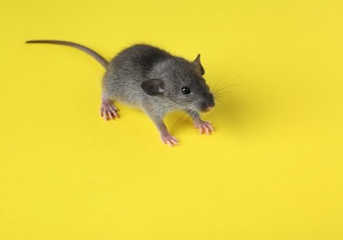 Cute little rat on color background
