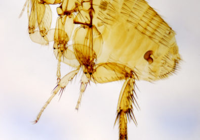 Flea photographed with use of the polarizing filter by means of a microscope.