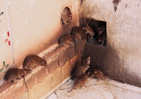 Holy rats running around Karni Mata Temple, Deshnok, Rajasthan, India
