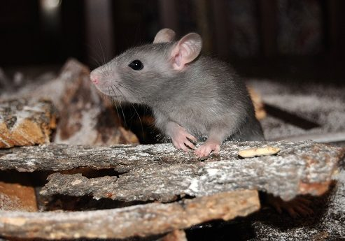 Mouse in woodpile