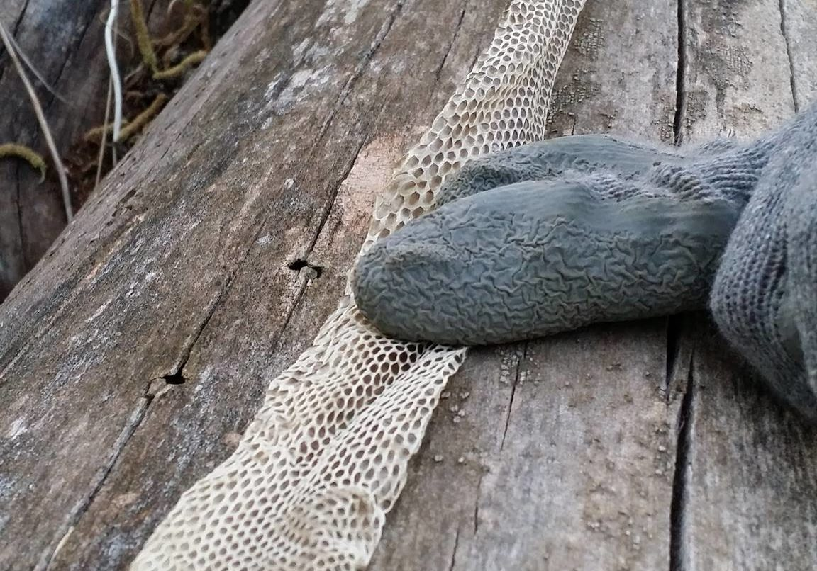Long snake skin stretched out on log