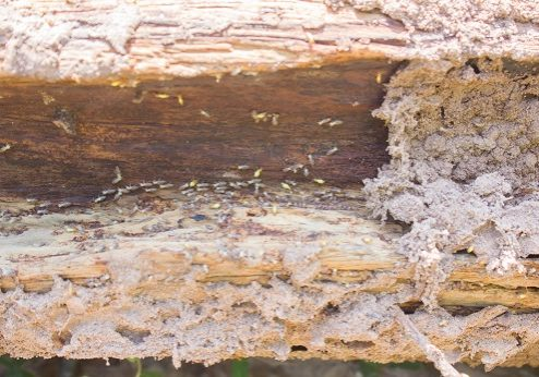 Termite crawling on damage wood