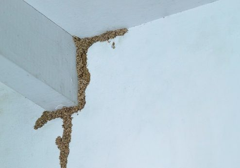 Termites building a mud tube on wooden wall of a room