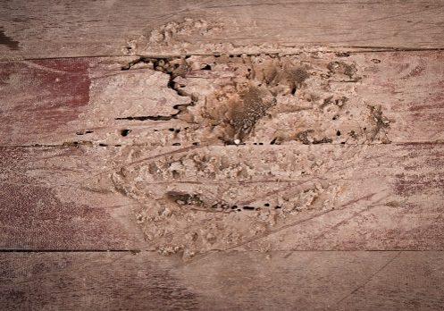Termites eat wood floor