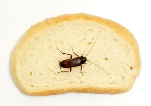 Cockroach on a slice of bread over white