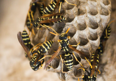 Exposed paper wasp nest with wasps crawling over it